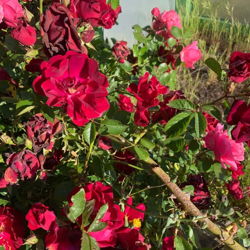 Portainjertos de rosales