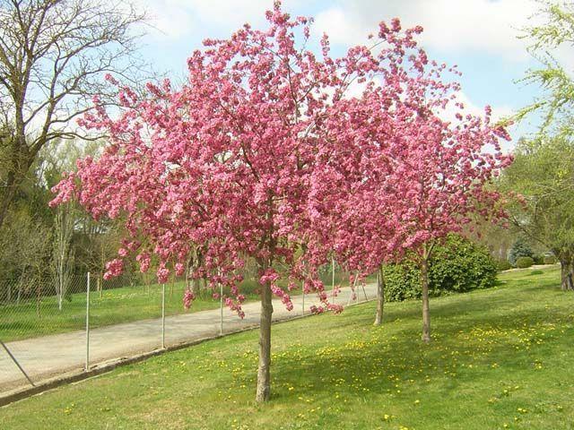 Malus floribunda un viaje entre flores blog garden for Arboles con flores para jardin