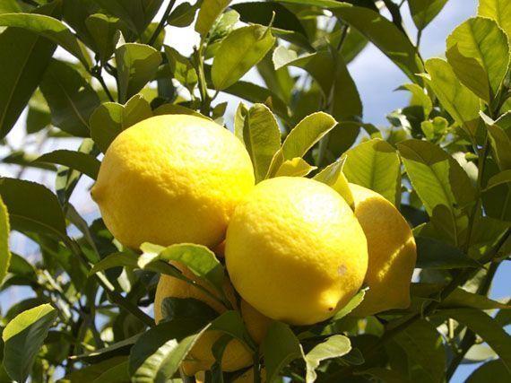 cuidado-naranjas-limones-invierno-gardencenterejea-34345345