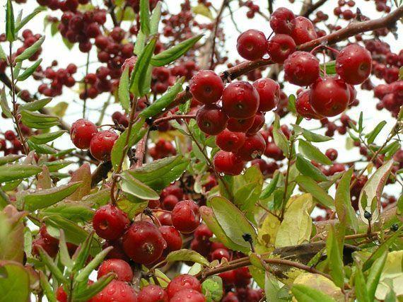 frutos-rojos-en-invierno-gardencenterejea-7834