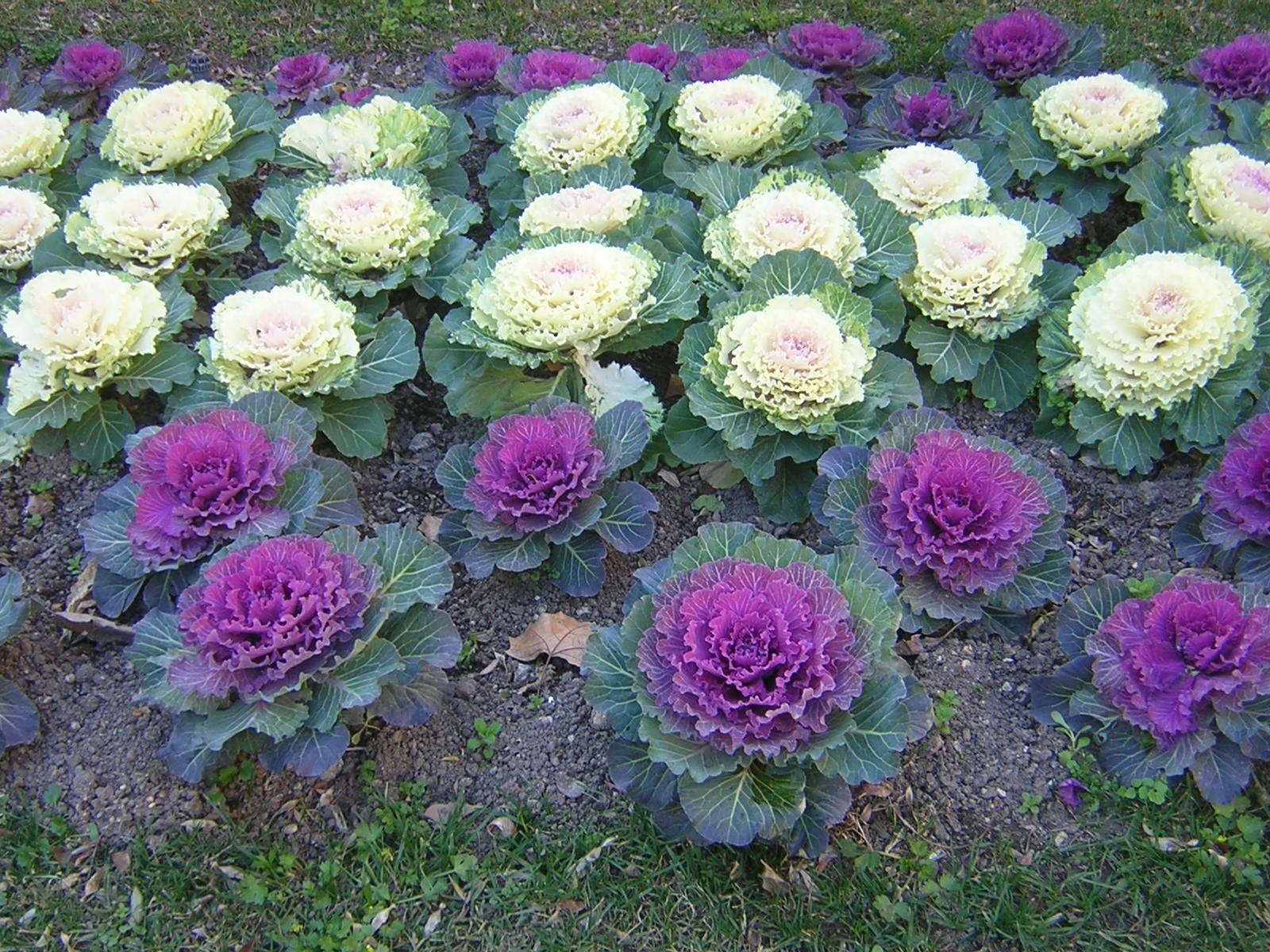 hortalizas%20ornamental%201