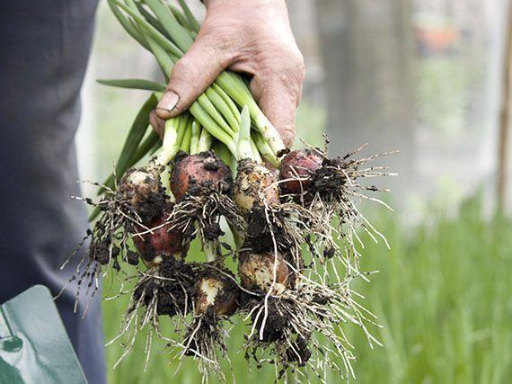 plantar-cebollas-en-huerto-79345938