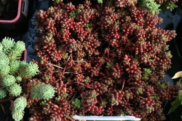 sedum coral (Small)
