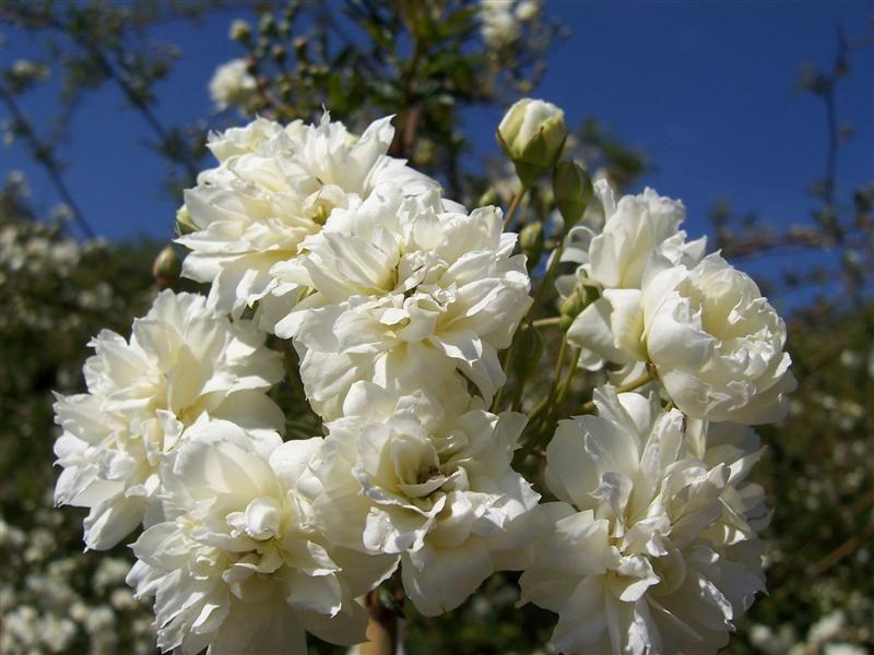 Comprar rosal banksiae alba