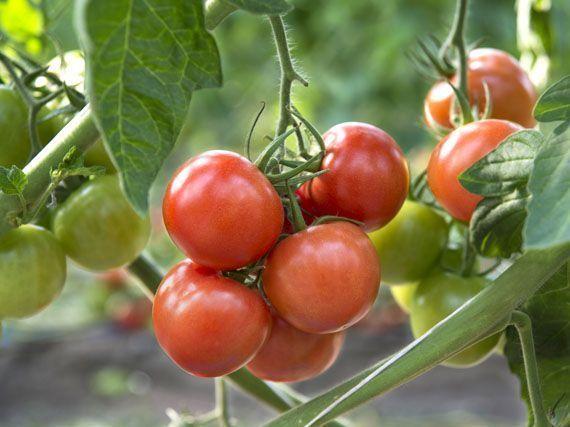 variedades-tomate-huerto-345u89