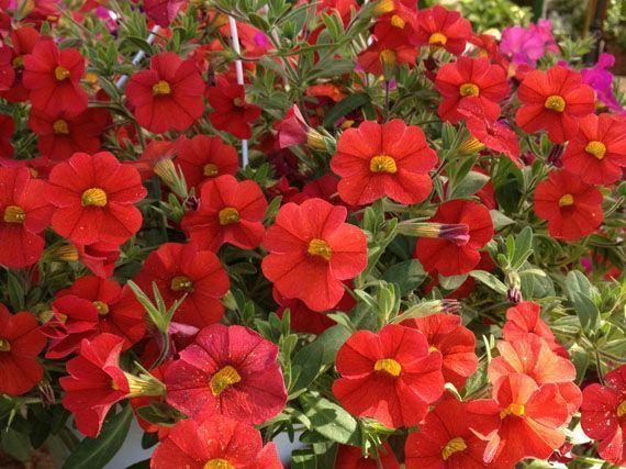 Flores de verano la mejor selecci n de plantas blog for Arbustos para macetas exterior