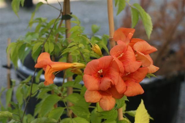 Bignonia%20capensis%20mma%20galen