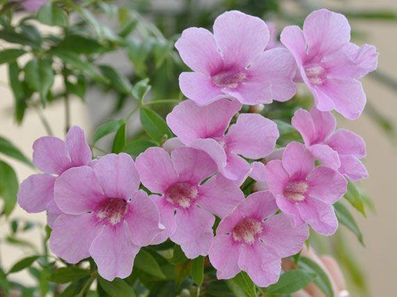Bignonias-coros-de-trompeta-gardencenterejea-843957
