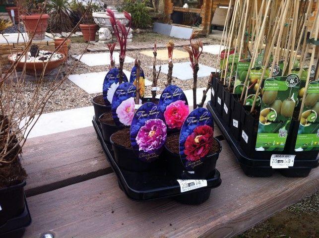 Comprar Peonías herbáceas