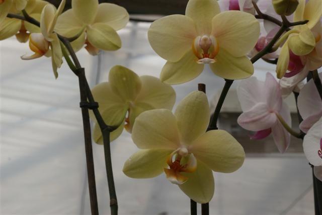 Phalaenopsis%20hibrida%2012%20Small