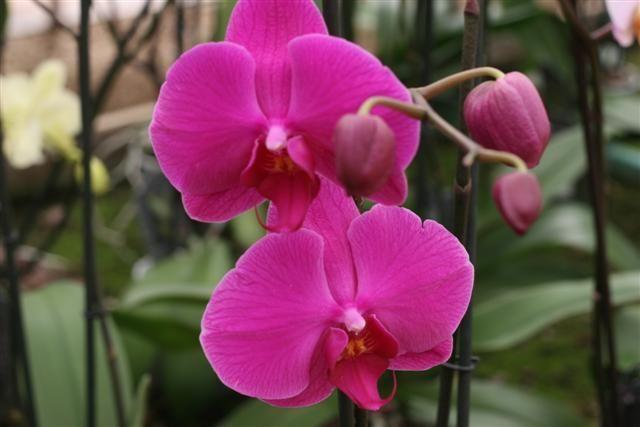 Phalaenopsis%20hibrida%2013%20Small