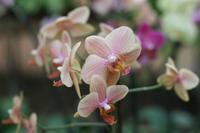 Phalaenopsis%20hibrida%202%20Small