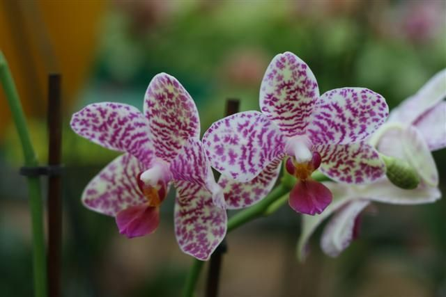 Phalaenopsis%20hibrida%203%20Small