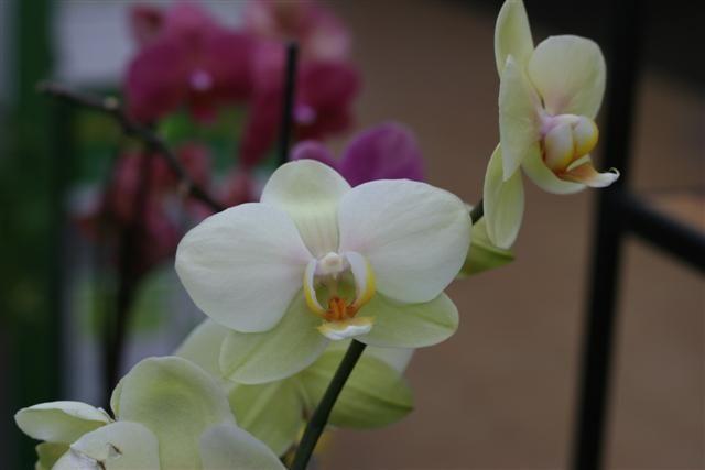Phalaenopsis%20hibrida%204%20Small