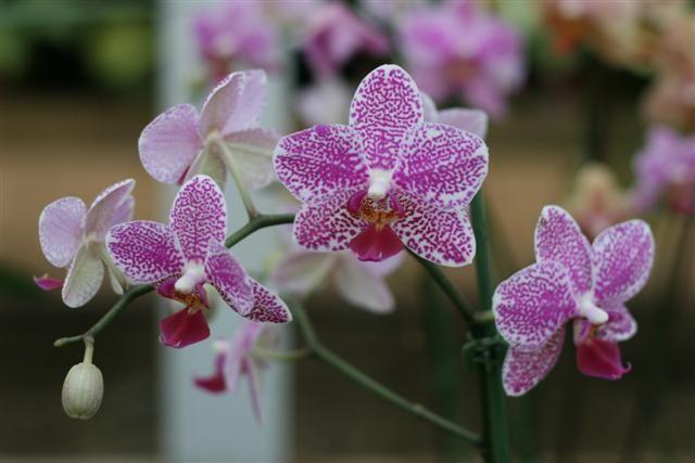 Phalaenopsis%20hibrida%207%20Small