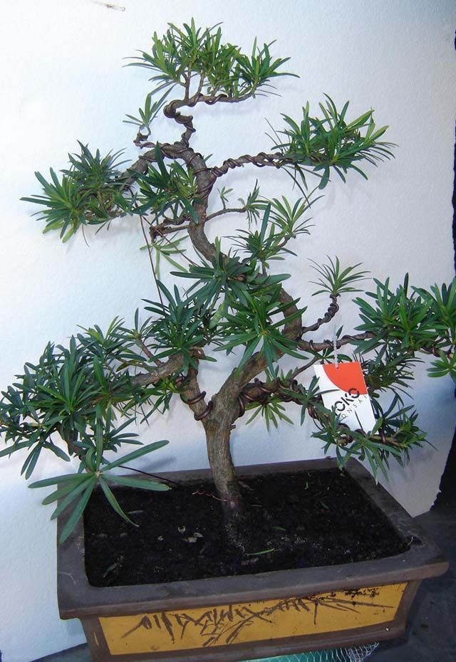 Podocarpus2