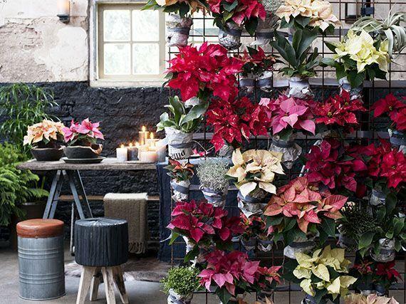 Poinsettia_decoracion_navidad_gardencenterejea_3489345