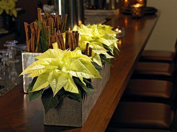 Poinsettias-estrellas-de-navidad-gardencenterejea-3458345