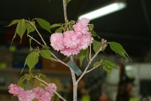 Prunus%20serrulata