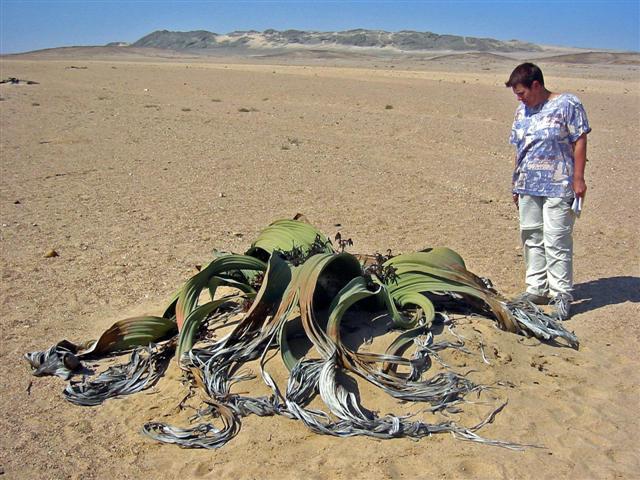 Welwitschia_mirabilis1%20Small