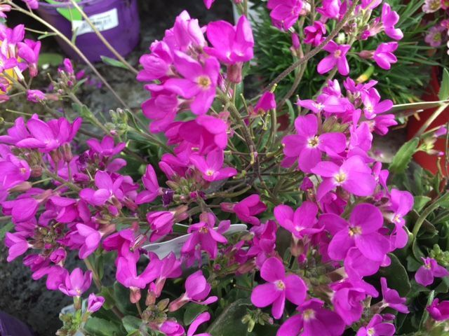 arabis-blepharophylla