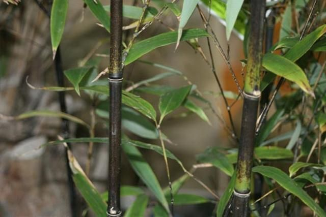 bambu%20nigra%20Small