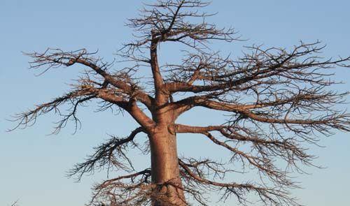 baobab03