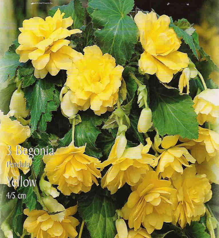 begonia%20pendula%20yellow