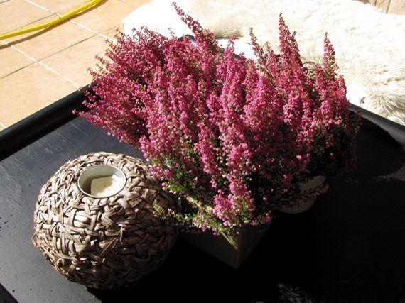 brezo-color-magenta-gardencenterejea-8734