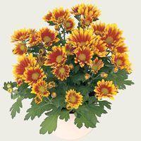 crisantemos-gardencenterejea-93785435