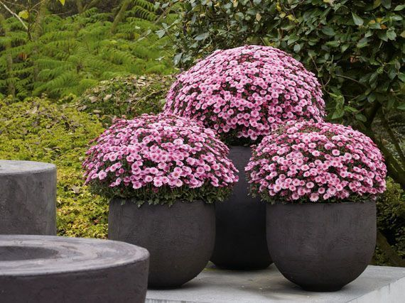 crisantemos-soles-otono-gardencenterejea-89345