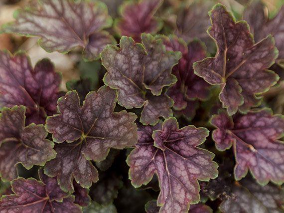 heucheras-todo-el-ano-gardencenterejea-3493451