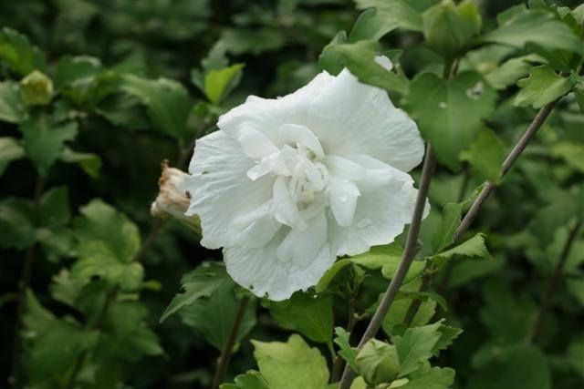 hibiscus%20white%20chiffon%20Small