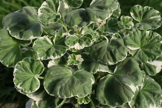 pelargonium%201