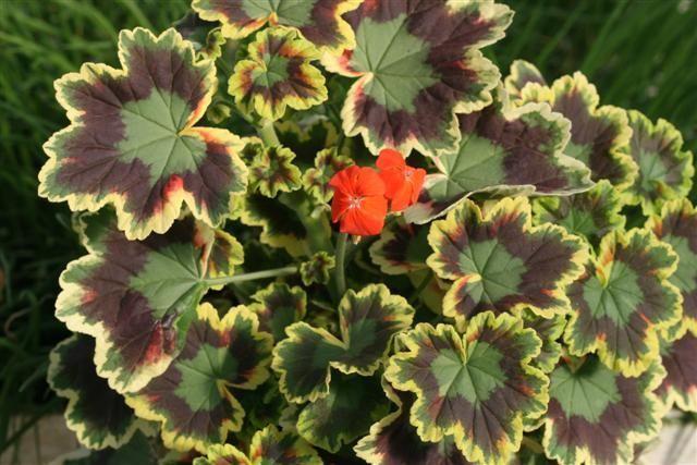 pelargonium%203