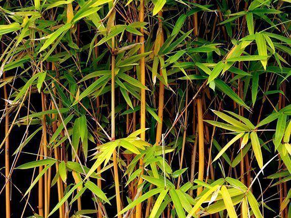propiedades-del-bambu-gardencenterejea-78345