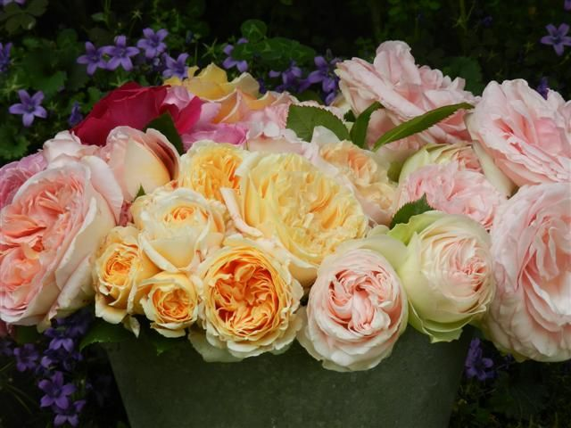 rosas_inglesas