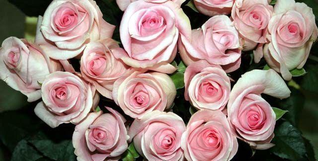 rosascorte01