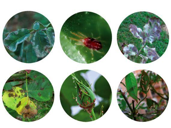 todo-sobre-la-salud-de-rosales-gardencenterejea-3895345