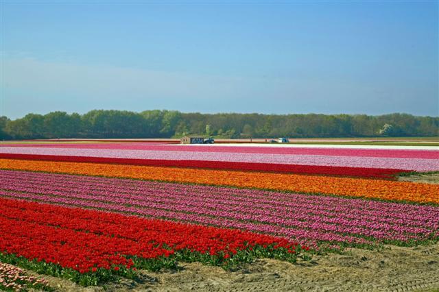 tulip%2011