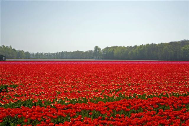 tulip%2012