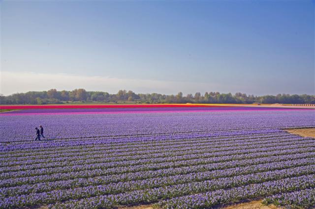 tulip%203