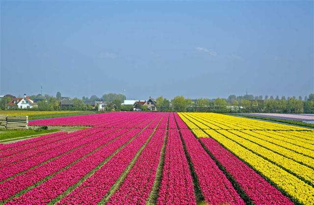 tulip%204