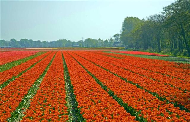 tulip%205