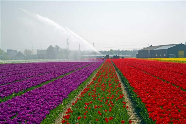 tulip%206
