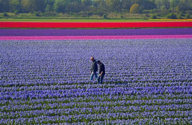tulip%207