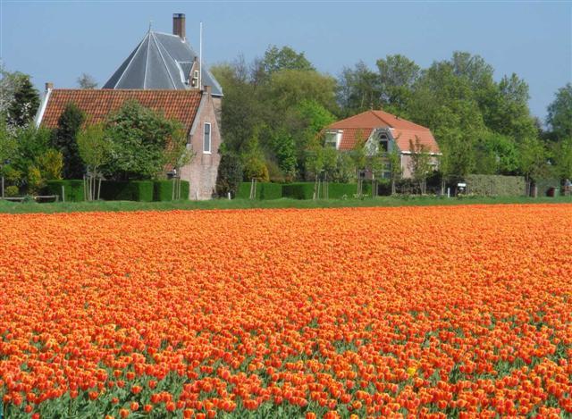 tulip%208