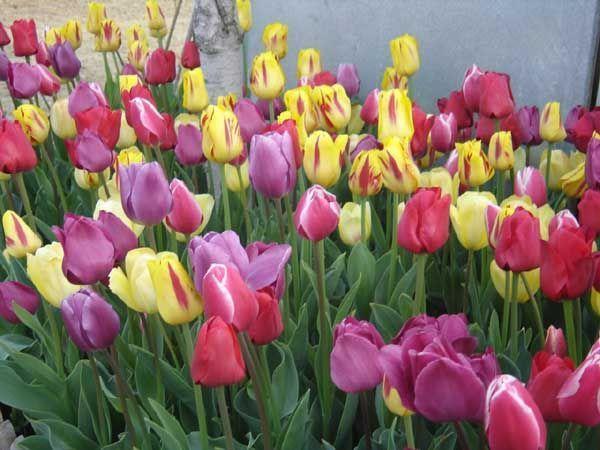 tulipanes%20variados