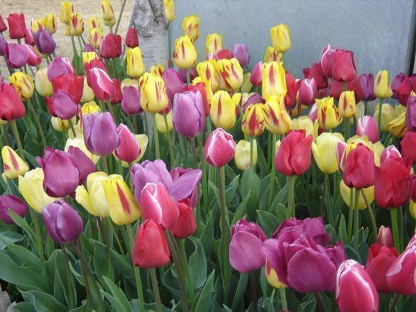 tulipanfoto