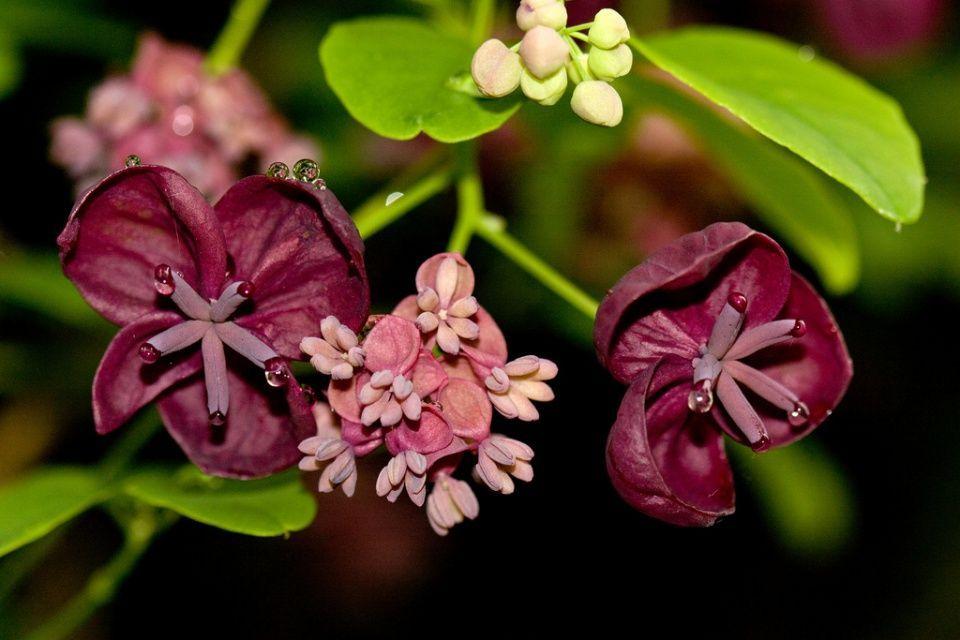 Akebia planta gran significado